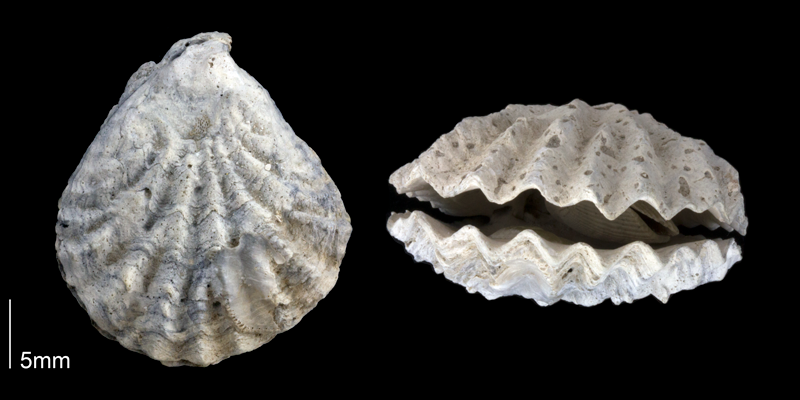 <i>Plicatula hunterae</i> from the Late Pliocene Tamiami Fm. (Pinecrest Beds) of Sarasota County, Florida (PRI 70170).