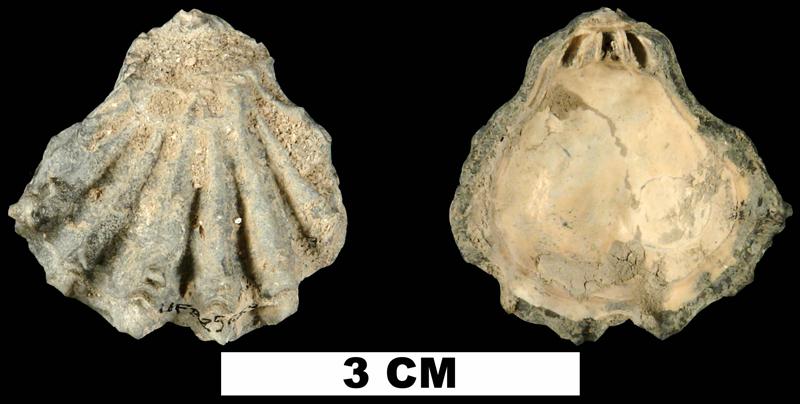 <i>Plicatula marginata</i> from the Late Pliocene Tamiami Fm. (Pinecrest Beds) of Sarasota County, Florida (UF 225259).