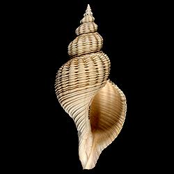 Pliculofusus scalarinus