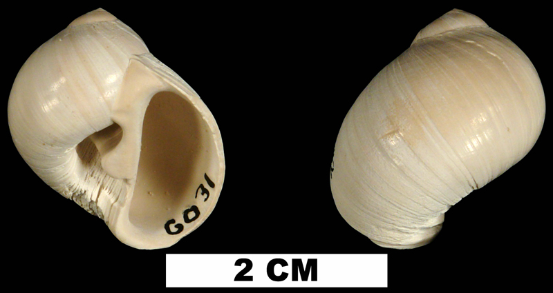 <i>Polinices carolinianus</i> from the Late Pliocene Tamiami Fm. (Pinecrest Beds) of Collier County, Florida  (UF 241442).