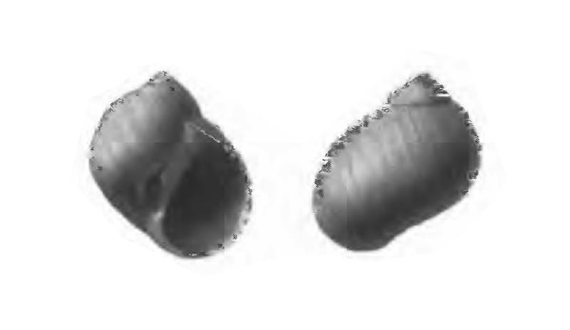 Specimen of <i>Polinices demicryptus</i> figured by Gardner (1947, pl. 59, fig. 20 and 21); 7.5 mm in length.
