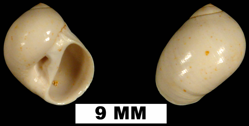 <i>Polinices demicryptus</i> from the Early Miocene Chipola Fm. of Calhoun County, Florida (UF 120521).