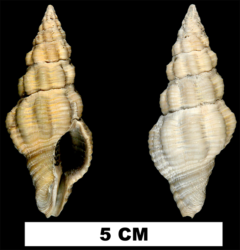 <i>Polygona angulata</i> from the Early Pleistocene Caloosahatchee Fm. or Middle Pleistocene Bermont Fm. of Palm Beach County, Florida (UF 155559).