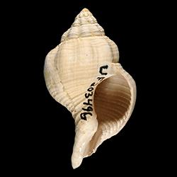 Psammostoma costatum