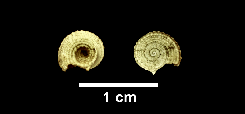 <i>Pseudotorinia nupera</i> from the Late Pliocene Yorktown Fm. of Isle of Wight County, Virginia (SDSM 112655).