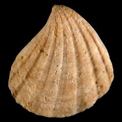 Pteromeris perplana
