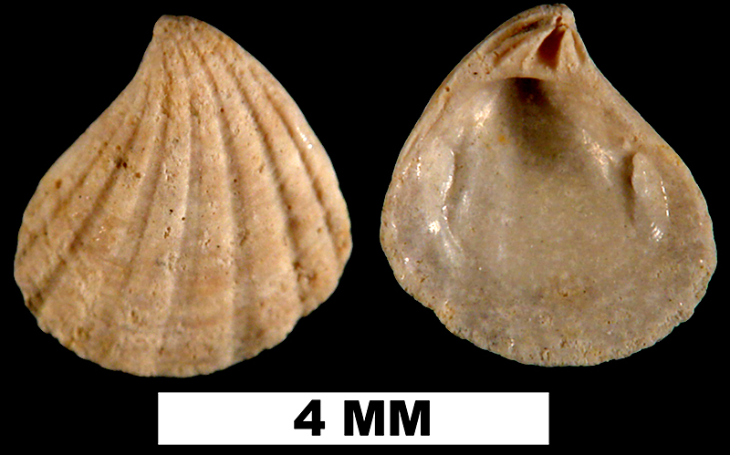 <i>Pteromeris perplana</i> from the Plio-Pleistocene (formation unknown) of Sarasota County, Florida (UF 49642).
