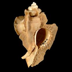 Pterorytis fluviana