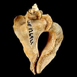 Pterorytis roxaneae
