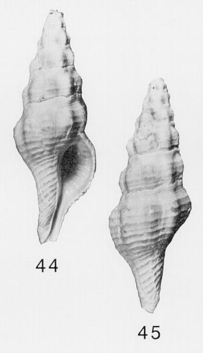 Specimen of <i>Pustulatirus caloosahatchiensis</i> figured by Lyons (1991, fig. 44 and 45).