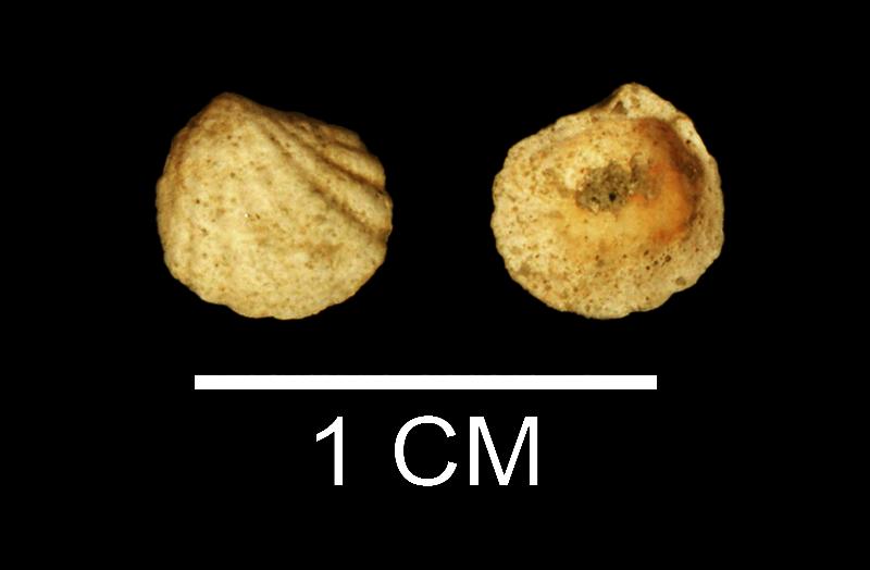 <i>Radiolucina tuomeyi</i> from the Late Pliocene Duplin Fm. of Wayne County, Georgia (SDSM 112190).