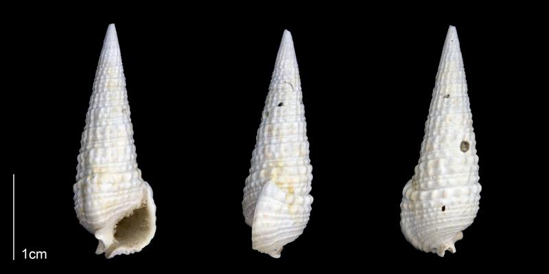 <i>Rhinoclavis caloosaensis</i> from the Late Pliocene Tamiami Fm. (Pinecrest Beds) of Sarasota County, Florida (PRI 70180).
