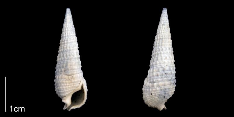 <i>Rhinoclavis caloosaensis</i> from the Late Pliocene Tamiami Fm. (Pinecrest Beds) of Sarasota County, Florida (PRI 70268).