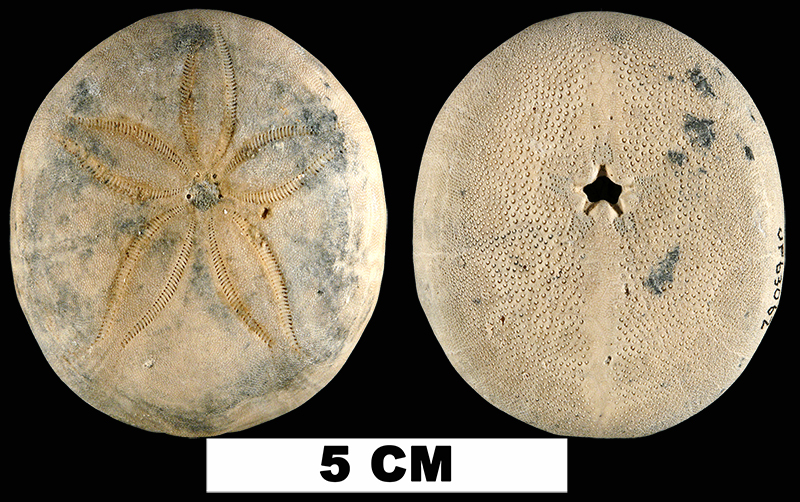 <i>Rhyncholampas ayresi</i> from the either the Early Pleistocene Caloosahatchee Fm. or the Middle Pleistocene Bermont Fm., Palm Beach County, Florida (UF 63062).