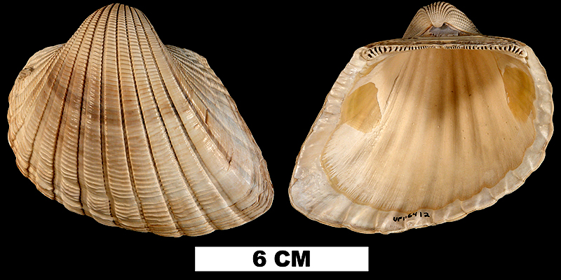 <i>Anadara scalarina</i> from the Early Pleistocene Caloosahatchee Fm. of Okeechobee County, Florida (UF 116412).