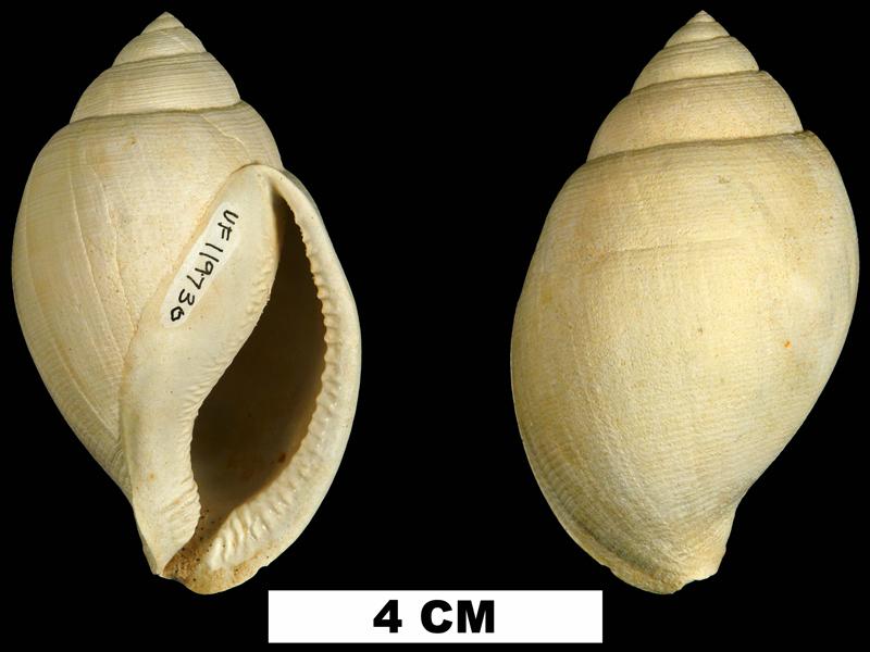 <i>Sconsia hodgii</i> from the Late Pliocene Tamiami Fm. (Pinecrest Beds) of Sarasota County, Florida (UF 119730).