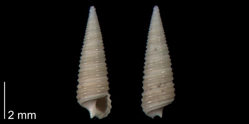 <i>Seila adamsii</i> from the lower Pleistocene Waccamaw Fm. of Brunswick County, North Carolina (PRI 70426).