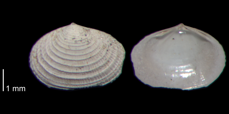 <i>Semele bellastriata</i> from the James City Fm. of Beaufort County, North Carolina (PRI 70480-1).