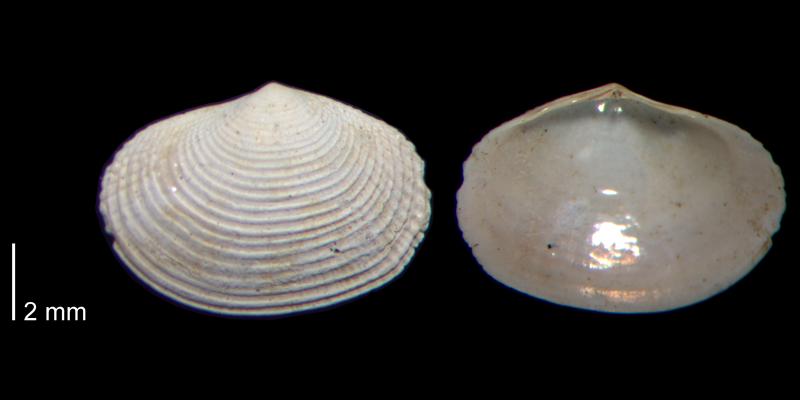 <i>Semele bellastriata</i> from the James City Fm. of Beaufort County, North Carolina (PRI 70480-2).