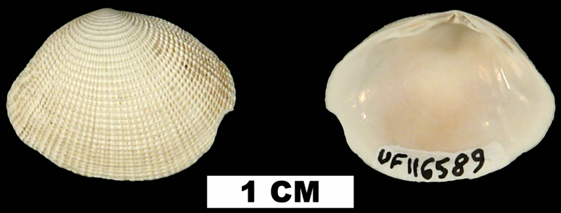 <i>Semele bellastriata</i> from the Early Pleistocene Caloosahatchee Fm. of Okeechobee County, Florida (UF 116589).