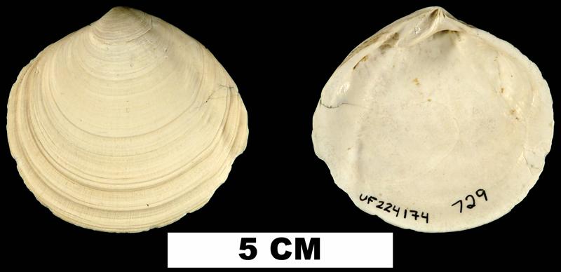 <i>Semele harveyensis</i> from the Late Pliocene Tamiami Fm. (Pinecrest Beds) of Okeechobee County, Florida (UF 225174).