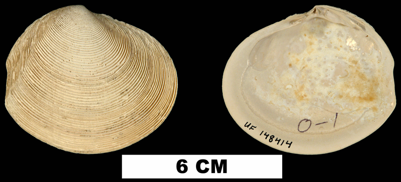 <i>Semele leana</i> from the Plio-Pleistocene (formation unknown) of Hendry County, Florida (UF 148414).