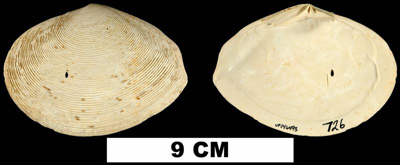 <i>Semele perlamellosa</i> from the Early Pleistocene Caloosahatchee Fm. of Hendry County, Florida (UF 146493).