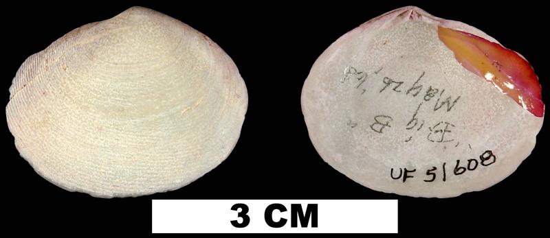 <i>Semele purpurascens</i> from the Middle Pleistocene Bermont Fm. of Palm Beach County, Florida (UF 51608).