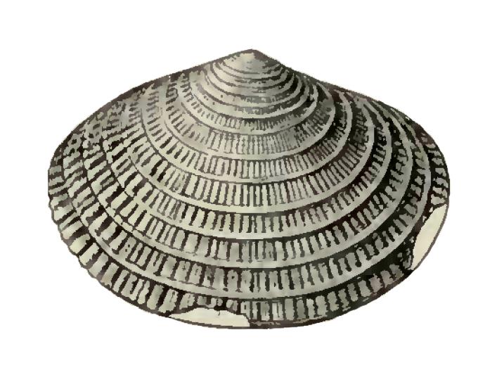 Specimen of <i>Semele scintillata</i> figured by Dall (1900, pl. 43, fig. 2); 8.0 mm in length.