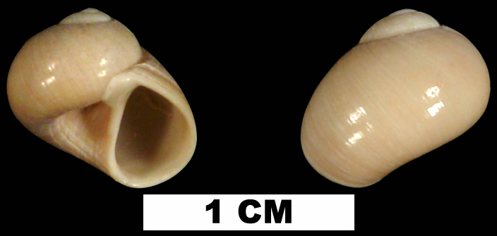 <i>Sigatica bathyora</i> from the Late Pliocene Tamiami Fm. (Pinecrest Beds) of Collier County, Florida (UF 71416).
