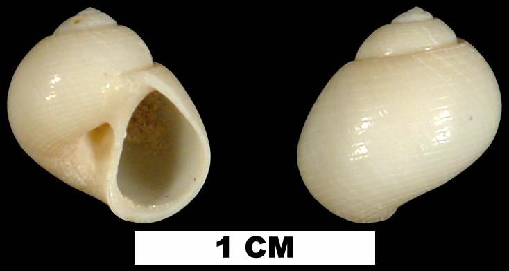 <i>Sigatica semisulcata</i> from either the Early Pleistocene Caloosahatchee Fm. or the Middle Pleistocene Bermont Fm. of Palm Beach County, Florida (UF 228679).