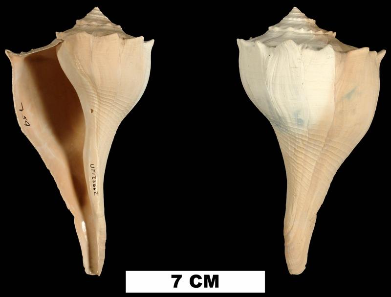 <i>Sinistrofulgur contrarium</i> from the Middle Pleistocene Bermont Fm. of Glades County, Florida (UF 125662).