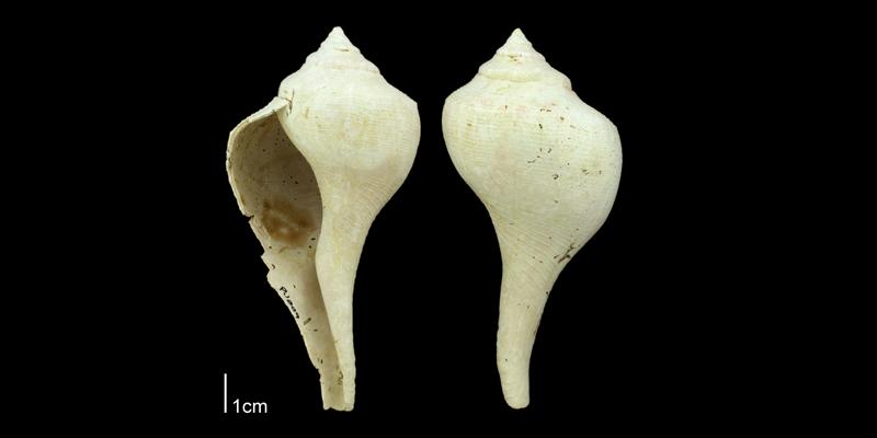 <i>Sinistrofulgur yeehaw</i> from the Plio-Pleistocene Nashua Fm. of Putnam County, Florida (PRI 70662).