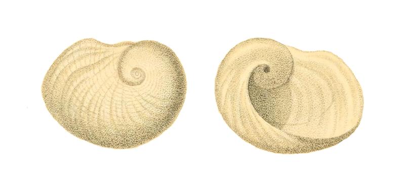 Specimen of <i>Sinum perspectivum</i> figured by Say (1831, pl. 25, fig. a).