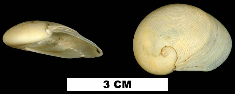 <i>Sinum perspectivum</i> from the Late Pleistocene Socastee Formation of Charleston County, South Carolina (UF 215940).