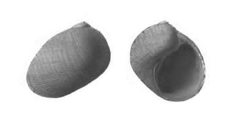 Specimen of <i>Sinum waltonense</i> figured by Gardner (1947, pl. 59, fig. 35 and 38); 15.5 mm in length.