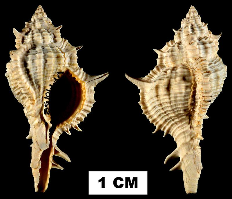 <i>Siratus juliagardnerae</i> from the Early Miocene Chipola Fm. of Calhoun County, Florida (UF 140158).