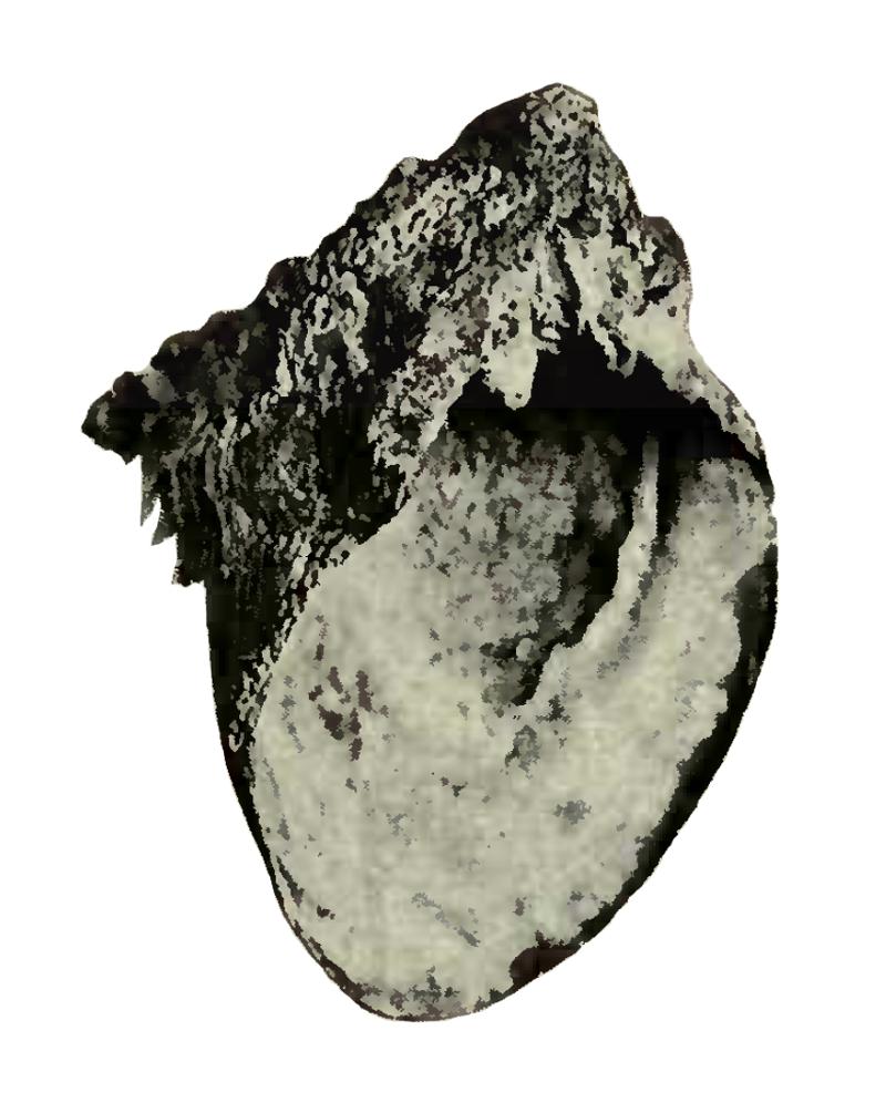 Specimen of <i>Spondylus rotundatus</i> figured by Heilprin (1886, pl. 14, fig. 33); 3.5 in. in length.