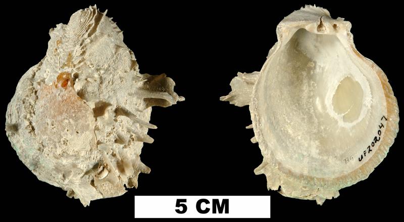 <i>Spondylus americanus</i> from the Middle Pleistocene Bermont Fm. of Palm Beach County, Florida (UF 202047).
