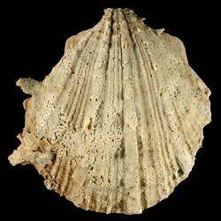 Spondylus cf. bostrychites