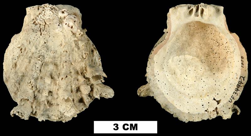 <i>Spondylus rotundatus</i> from the Plio-Pleistocene (formation unknown) of Sarasota County, Florida (UF 34942).