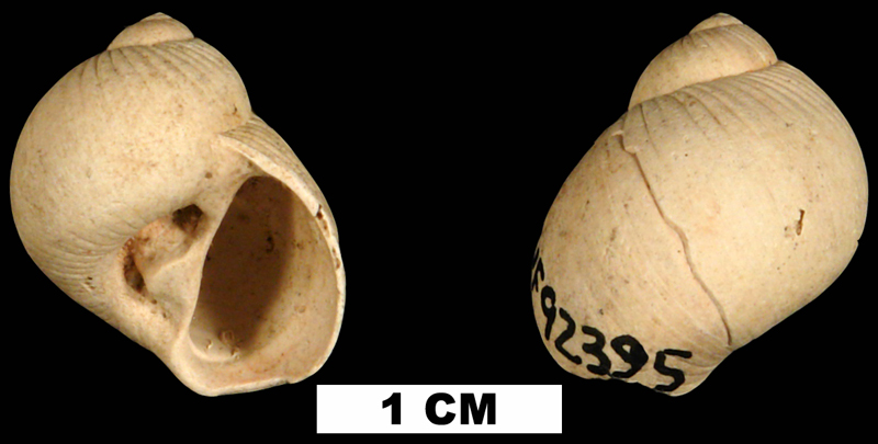 <i>Stigmaulax polypum</i> from the Early Pleistocene Caloosahatchee Fm. of Pinellas County, Florida (UF 92395).