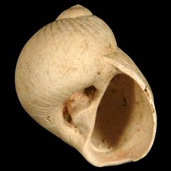 Stigmaulax polypum