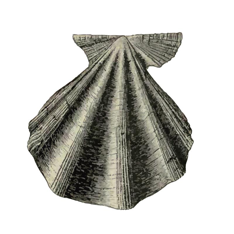 Specimen of <i>Stralopecten caloosaensis</i> figured by Dall (1898, pl. 29, fig. 12); 64 mm in length.