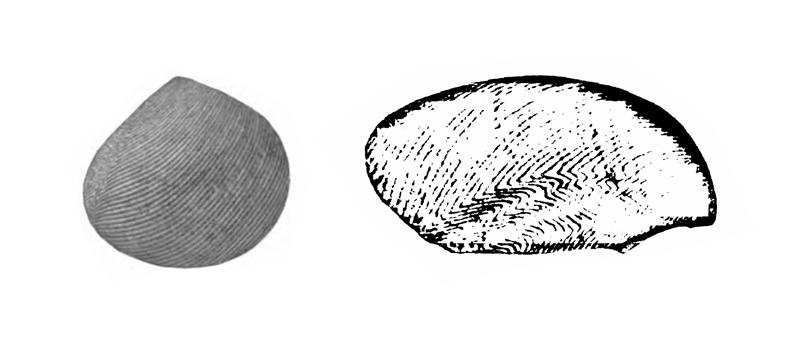 Specimen of <i>Strigilla paraflexuosa</i> figured by Gardner (1928, pl. 30, fig. 14 and 15); 7.8 mm and 6.3 mm in length, respectively.