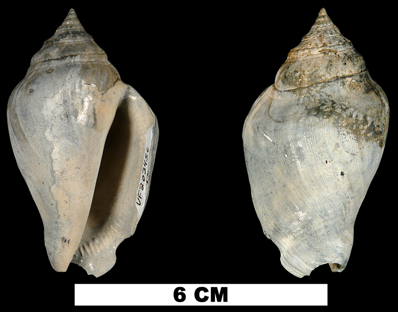 <i>Strombus floridanus</i> from the Late Pliocene Tamiami Fm. (Pinecrest Beds) of Sarasota County, Florida (UF 203456).