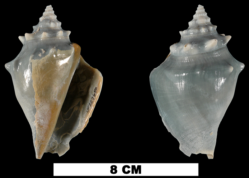 <i>Strombus pugilis</i> from the Middle Pleistocene Bermont Fm. of Miami-Dade County, Florida (UF 227650).