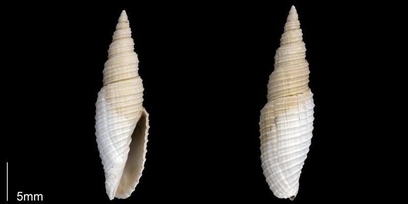 <i>Subcancilla longa</i> from the Late Pliocene Tamiami Fm. (Pinecrest Beds) of Sarasota County, Florida (PRI 70058).