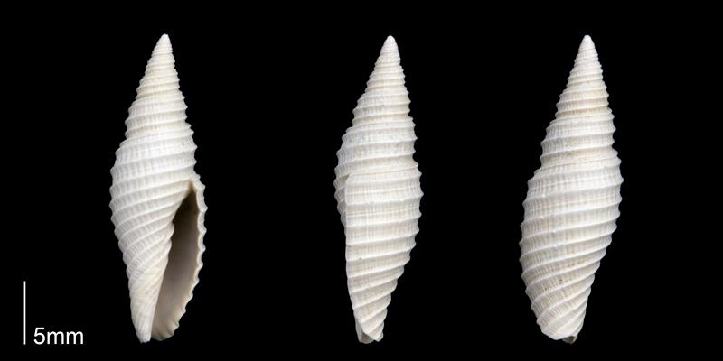 <i>Subcancilla stephensoni</i> from the Late Pliocene Tamiami Fm. (Pinecrest Beds) of Sarasota County, Florida (PRI 70303).