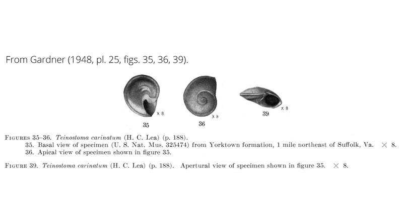 <i>Teinostoma carinatum</i> from Gardner (1948), pl. 25, figs. 35, 36, 39. USNM 325474. Yorktown Formation, Suffolk, Virginia.